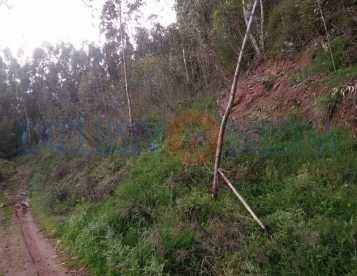 Eucaliptal em Águeda
